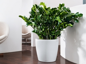 zz plant in large white round container sitting on dark wooden floor next to white wall
