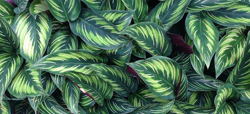 variegated leaves of a calathea plant