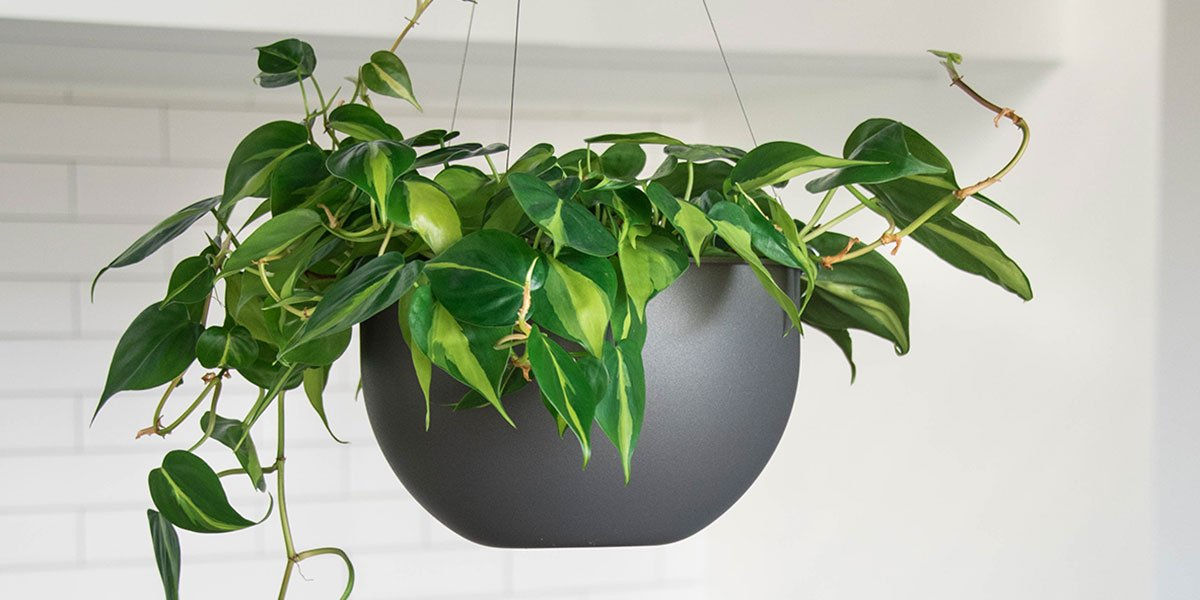 image of hanging planter with a pothos plant growing over the sides of the indoor hanging planter